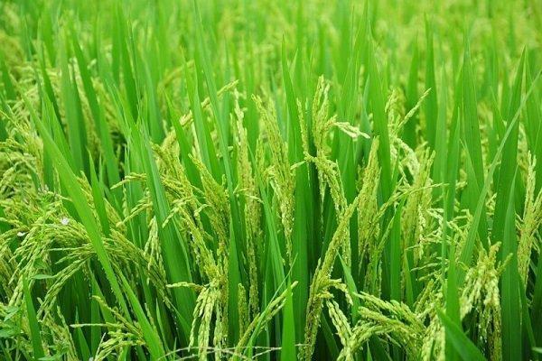 برنج تراریخته وارد ایران نمی گردد، مصرف محصولات تراریخته در 190کشور