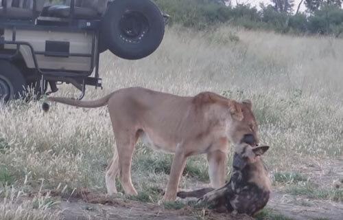 سگ آفریقایی شیر جنگل را فریب داد